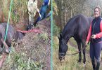 Why the long face? I'm stuck in a 6ft hole! Horse becomes trapped in trench... but is now in a stable condition after rescuers free him in three-hour operation